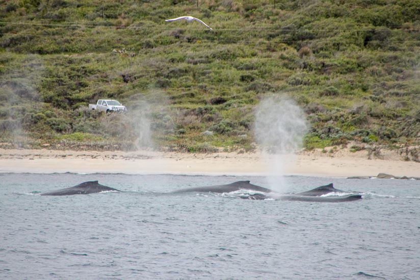 Whale Watching Augusta - Tuesday 1 July 2018